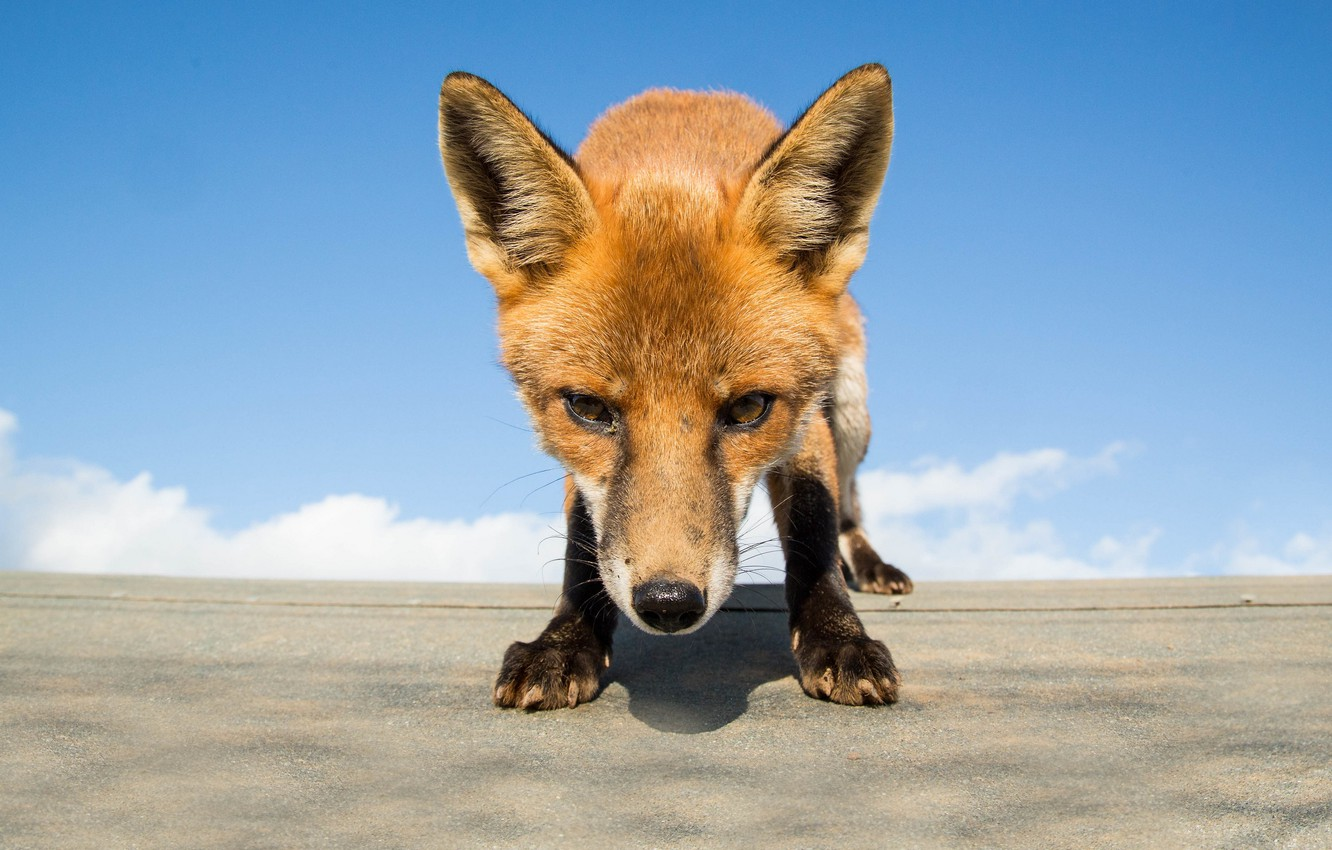 Photo wallpaper look, muzzle, Fox, question, what are you doing here