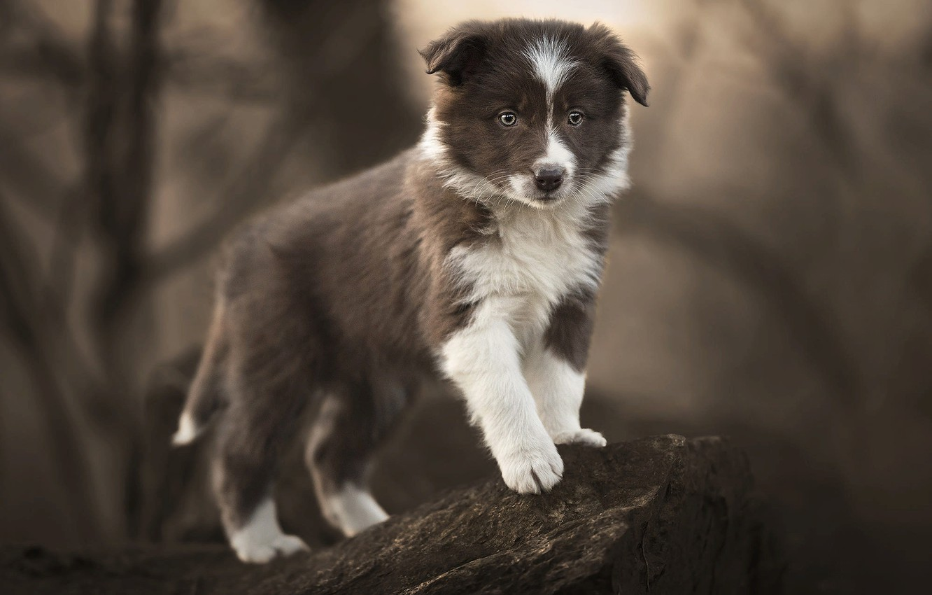 Photo wallpaper nature, pose, animal, stone, dog, puppy, cub, the border collie
