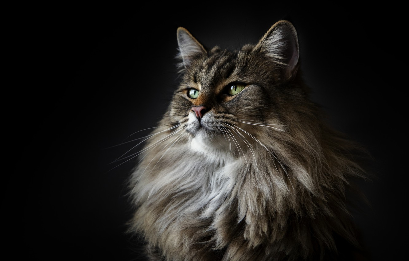 Photo wallpaper cat, cat, maine coon, Maine Coon, Alexander Marks