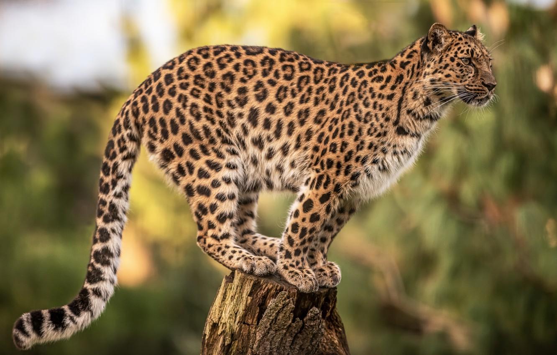 Photo wallpaper background, stump, leopard, wild cat, bokeh