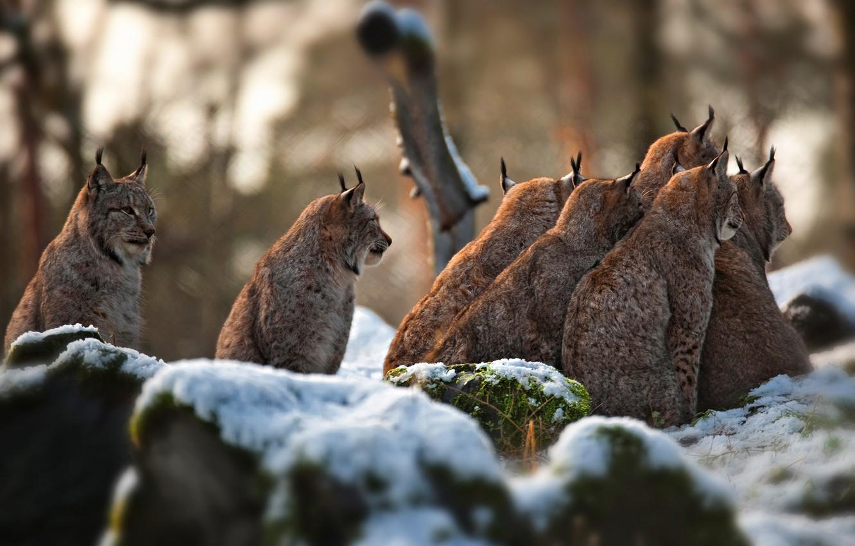 Photo wallpaper winter, snow, stones, company, lynx, lynx, a lot, bokeh, sitting, party