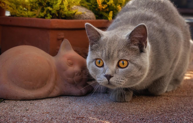 Photo wallpaper cat, look, muzzle, British Shorthair