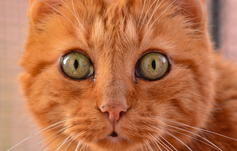 Photo wallpaper cat, look, red, muzzle, Kote, eyes, cat