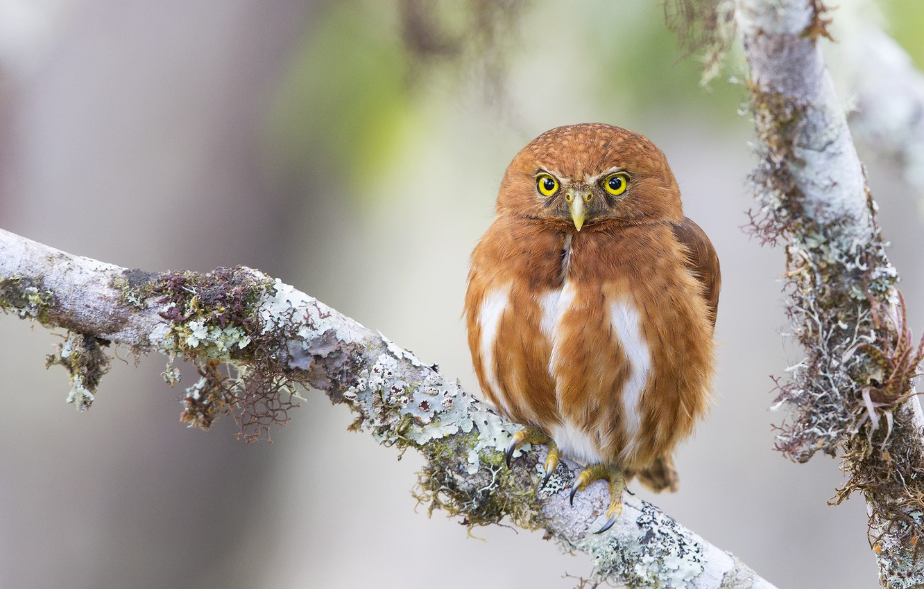 Photo wallpaper owl, branch, red