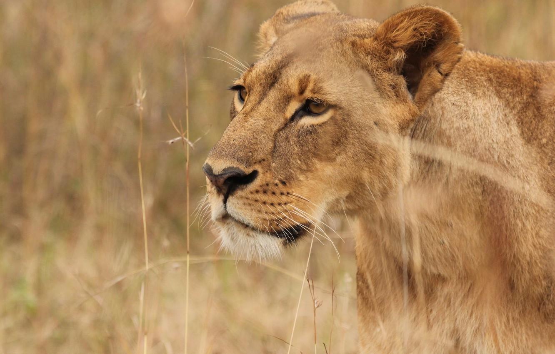 Photo wallpaper grass, nature, predator, lioness, big cat
