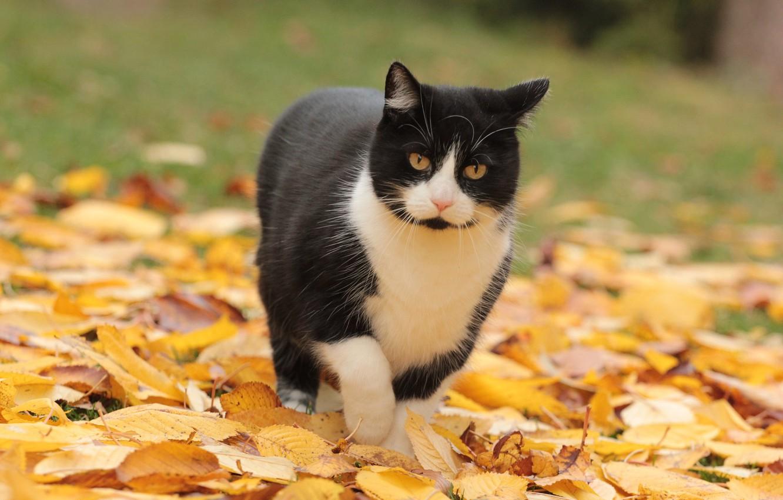 Photo wallpaper cat, black and white, walk, autumn leaves