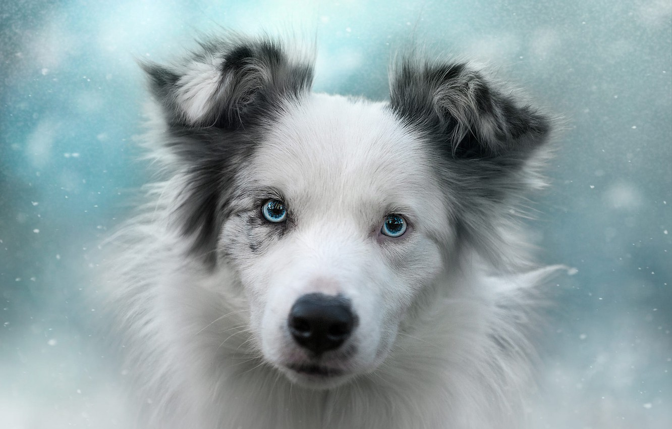 Photo wallpaper winter, white, look, face, snow, background, mood, portrait, dog, puppy, blue eyes, snowfall, spotted, handsome, ...