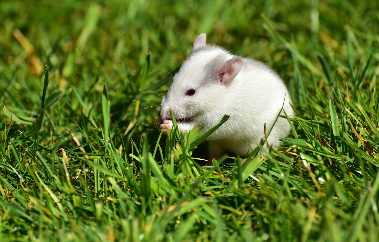 Photo wallpaper greens, summer, grass, pose, background, glade, mouse, mouse, muzzle, white, sitting, rat, rodent, mouse, rat
