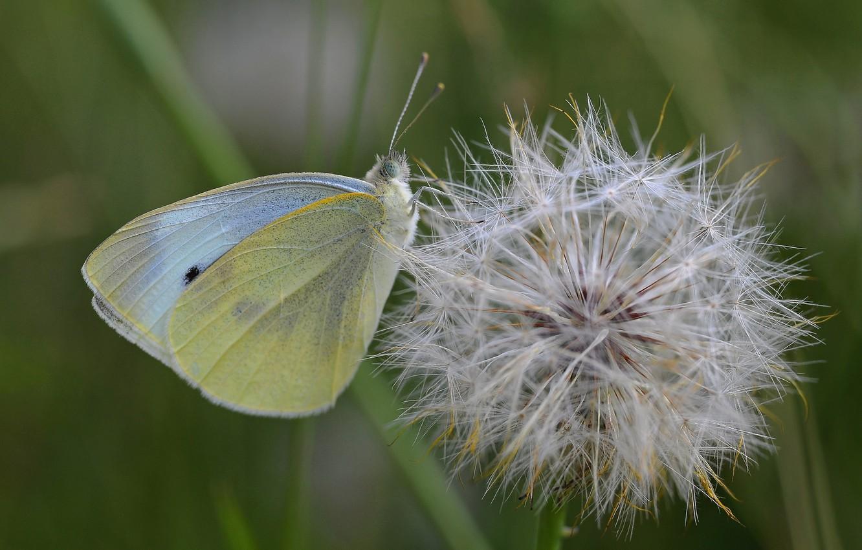 Photo wallpaper dandelion, butterfly, cabbage