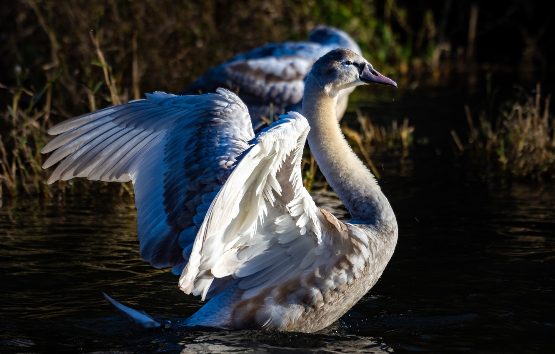 Photo wallpaper light, pose, the dark background, bird, wings, feathers, Swan, pond, stroke