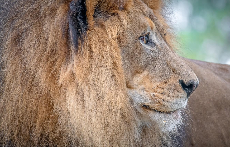 Photo wallpaper Leo, king, mane, profile