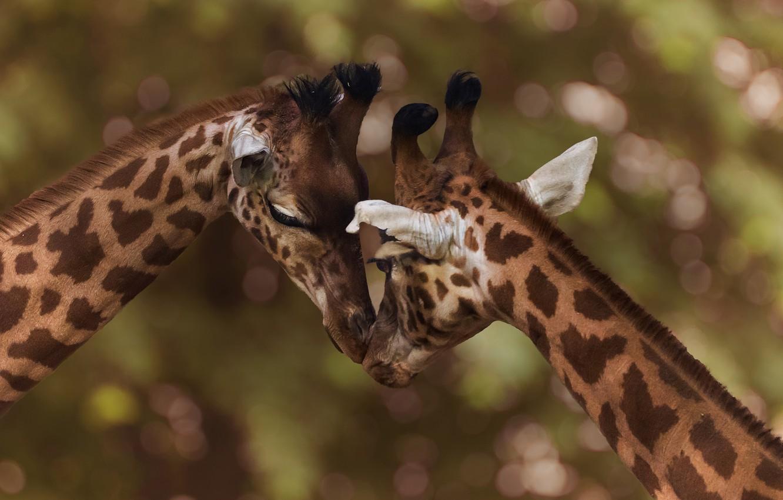 Photo wallpaper pose, background, together, giraffe, pair, giraffes, weasel, Duo, two, muzzle, bokeh, head down, two giraffe