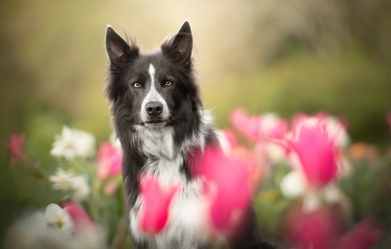 Photo wallpaper look, face, flowers, dog, blur, The border collie