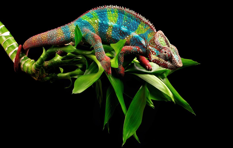 Photo wallpaper Leaves, Branch, Eyes, Chameleon, Tail