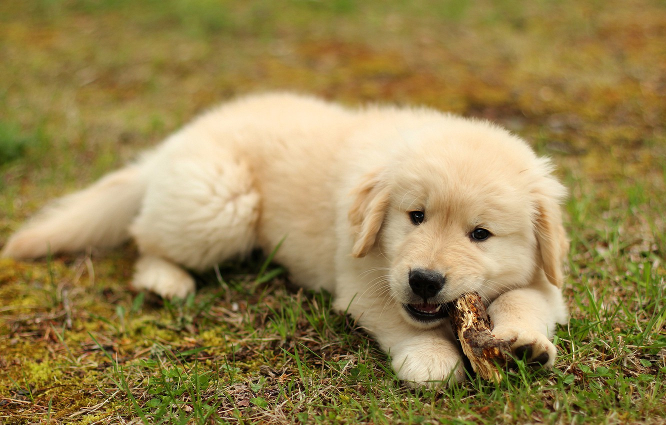Wallpaper Summer Grass Dog Baby Cute Puppy Lies Wand Labrador Golden Pussy Lawn Nibbles Retriever Images For Desktop Section Sobaki Download