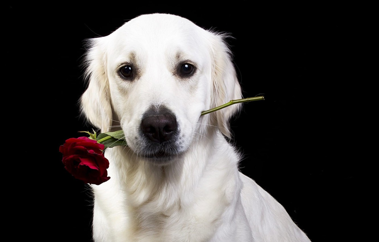 Photo wallpaper flower, look, face, rose, dog, black background, Golden Retriever, Golden Retriever, Natalia Lays