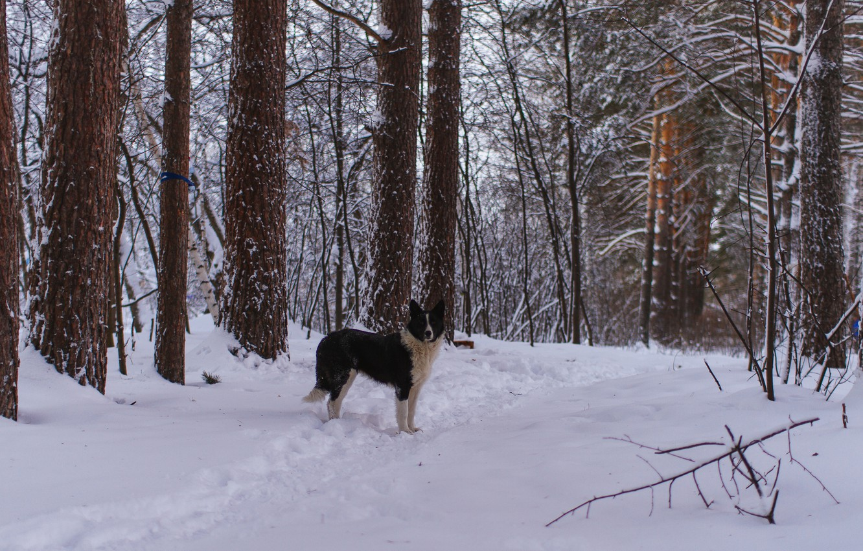 Photo wallpaper winter, forest, snow, dog, walk