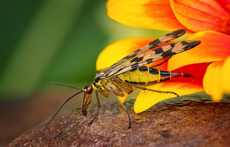 Photo wallpaper animals, flower, summer, macro, yellow, nature, nasekomoe, Serpionova fly