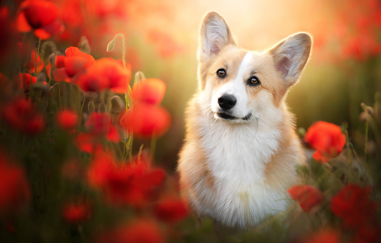 Photo wallpaper look, flowers, Maki, dog, blur, ears, face, Welsh Corgi