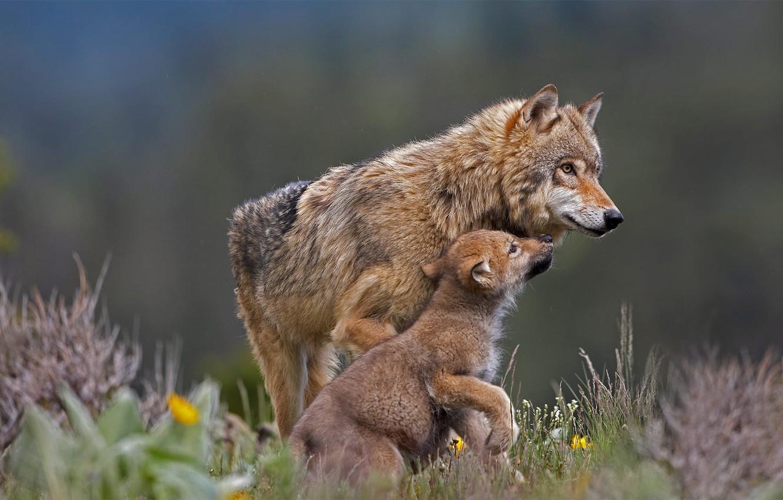 Photo wallpaper wolf, predator, the cub