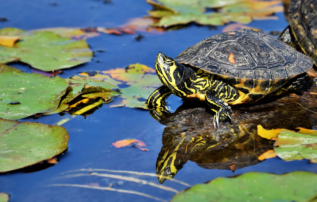 Photo wallpaper look, leaves, water, lake, pond, reflection, turtle, green, pond, blue background, bug, water, water
