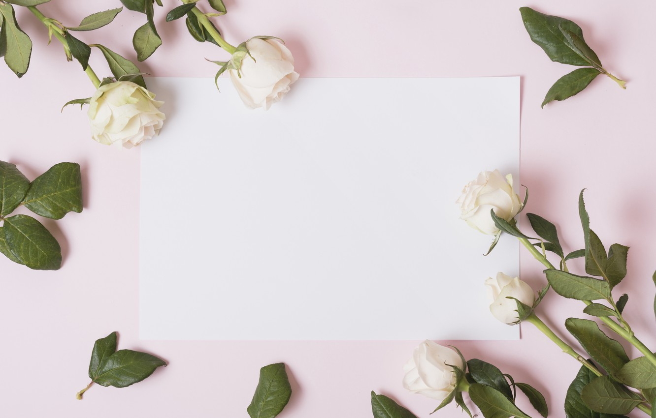 Wallpaper Flowers Roses Petals White White Pink Background