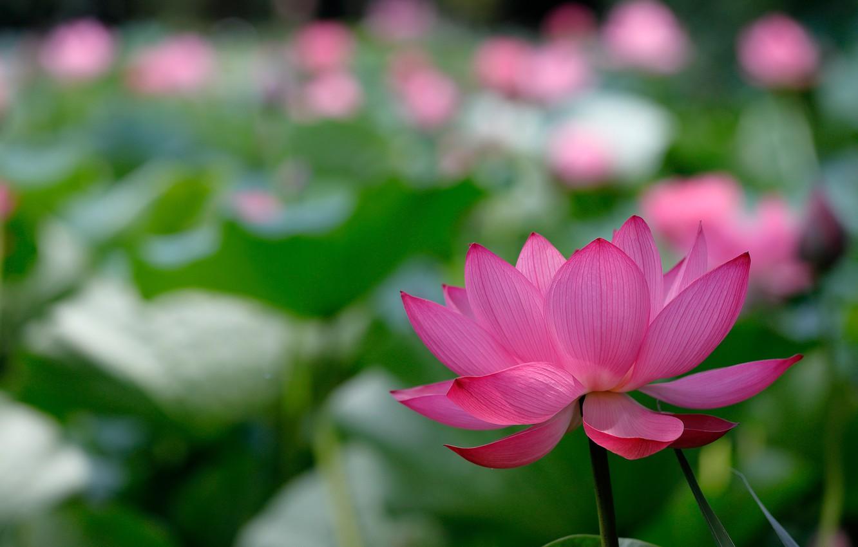 Wallpaper Flower Nature Background Lotus Bokeh Lotus Flowers