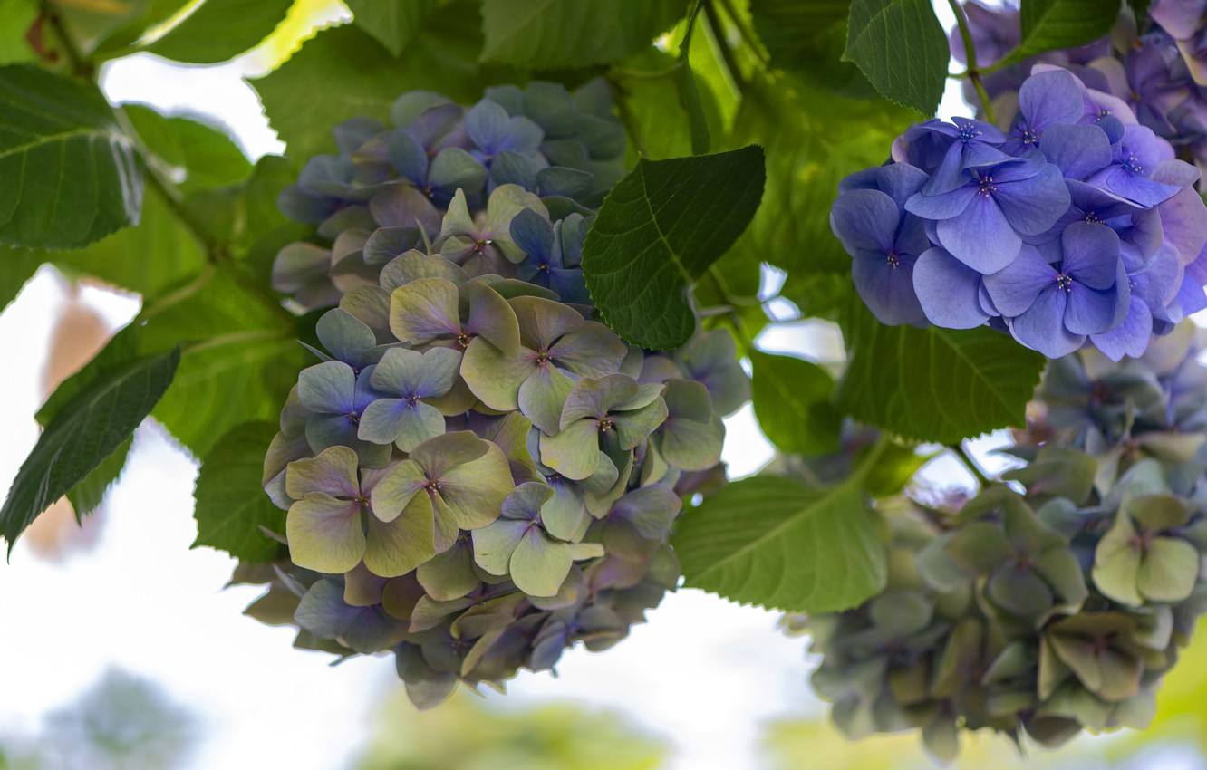 Photo wallpaper leaves, flowers, branches, background, petals, green, purple, flowering, inflorescence, lilac, bokeh, hydrangea
