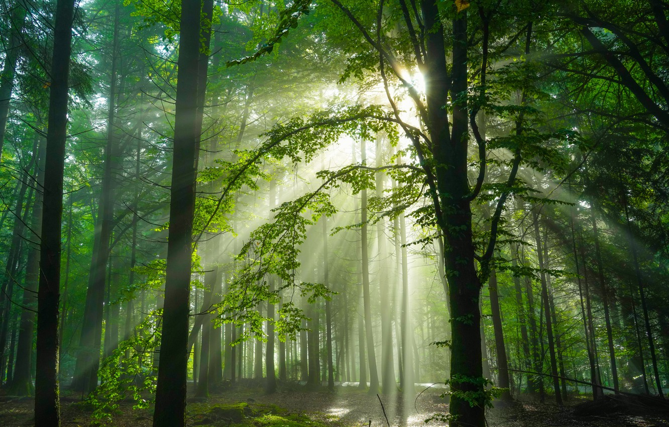 Photo wallpaper forest, trees, Germany, sunlight