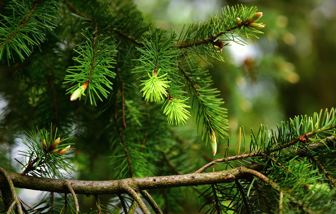 Photo wallpaper greens, needles, branches, nature, tree, spruce, spring, needles, kidney, pine, coniferous, spruce, pine