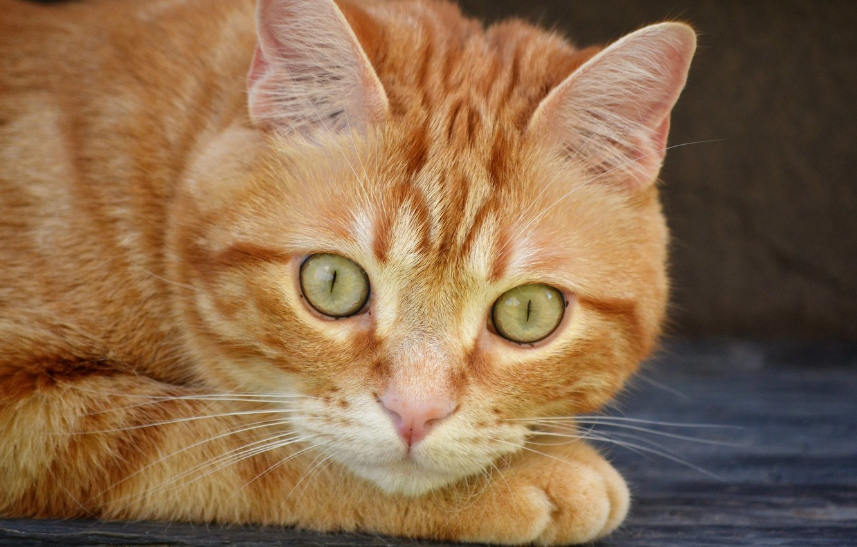Photo wallpaper cat, look, red, muzzle, cat