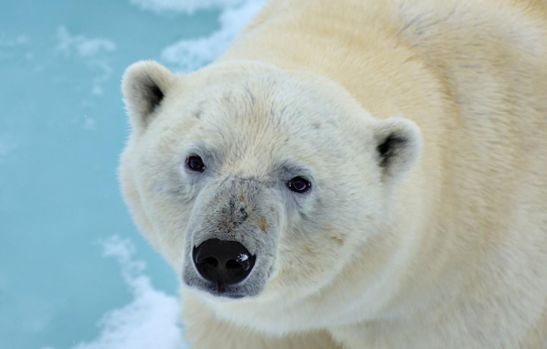 Photo wallpaper look, face, bear, Polar bear, Polar bear