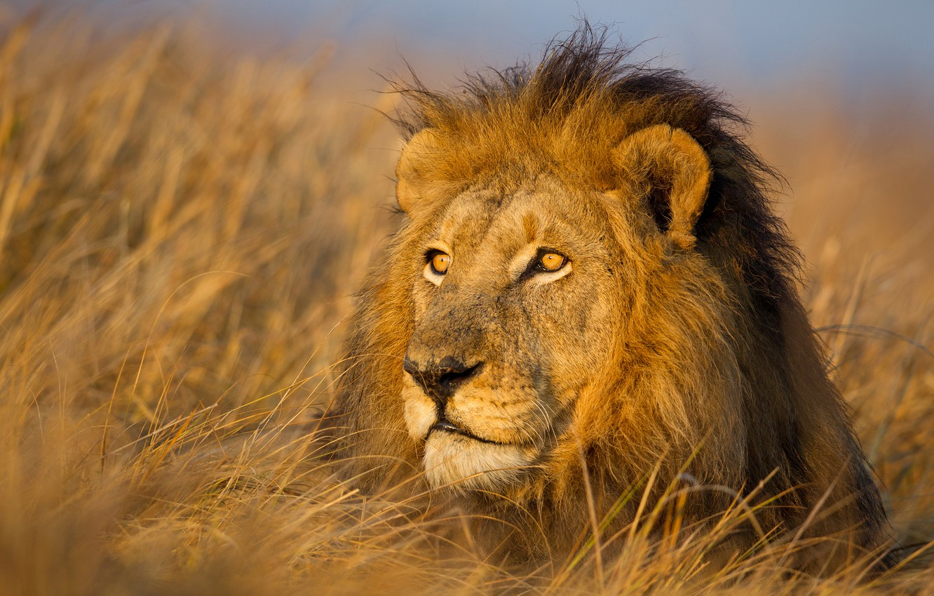 Photo wallpaper grass, face, portrait, Leo, mane, the king of beasts, wild cat
