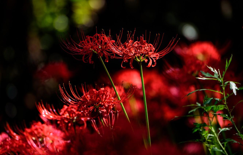Photo wallpaper light, flowers, the dark background, red, bokeh, he lost