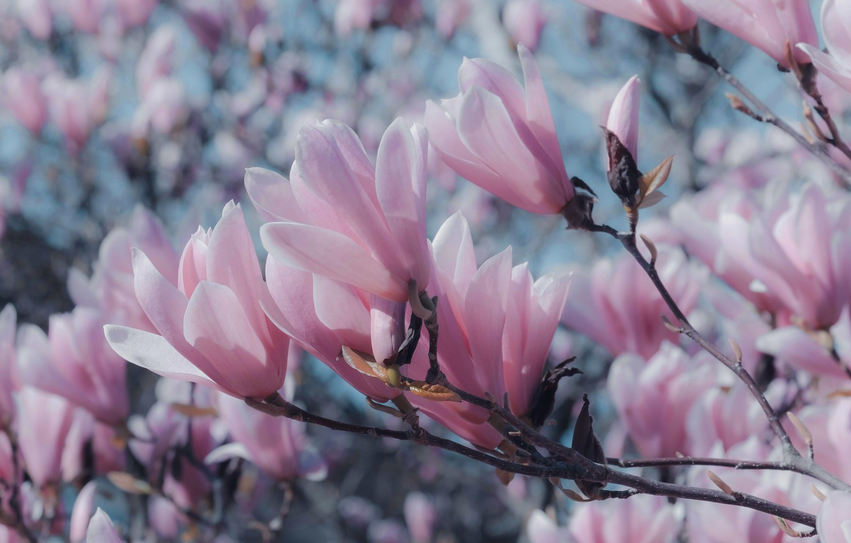 Photo wallpaper flowers, branches, mood, spring, petals, gentle, pink, flowering, blue background, bokeh, Magnolia, spring, in bloom