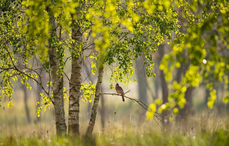 Photo wallpaper light, branches, nature, tree, bird, foliage, focus, branch, Spring, birch, bokeh