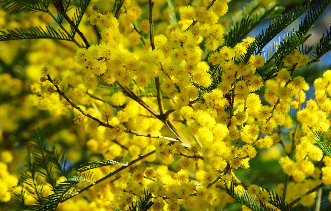 Photo wallpaper flowers, branches, bright, yellow, flowering, Mimosa