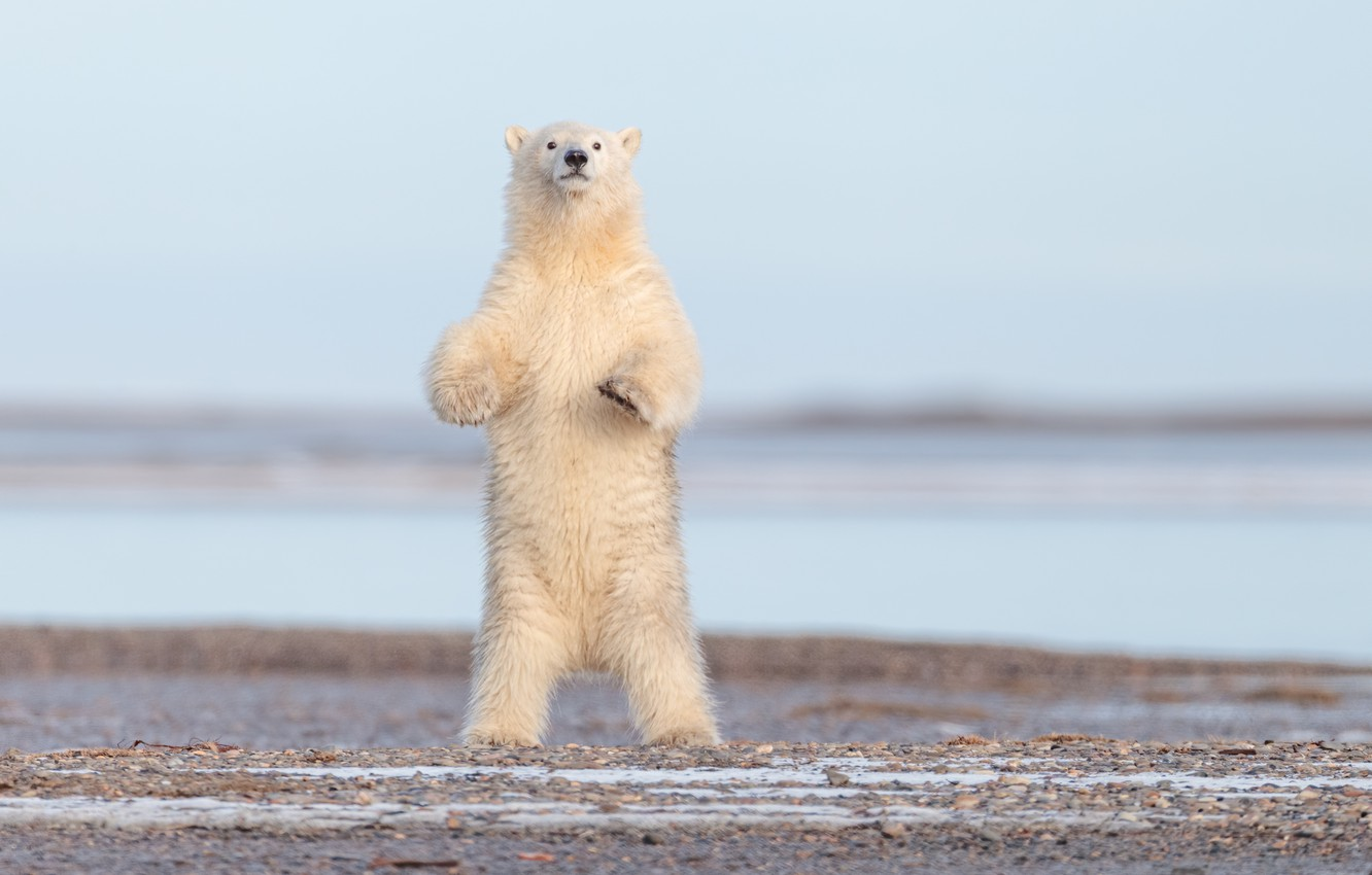 Photo wallpaper bear, Alaska, polar bear, stand, polar bear