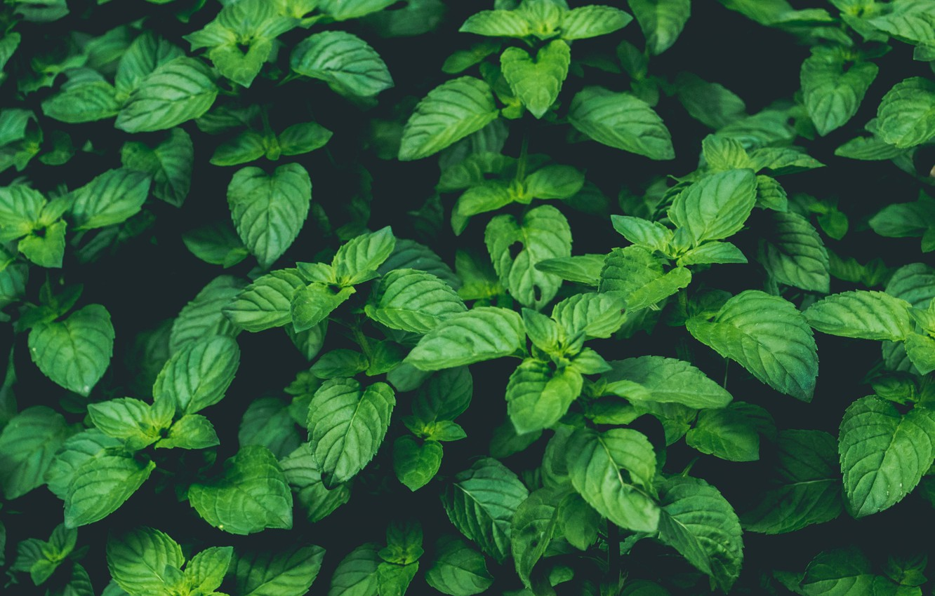 Photo wallpaper Nature, Green, Wallpaper, Background, Macro, Mint, Plant