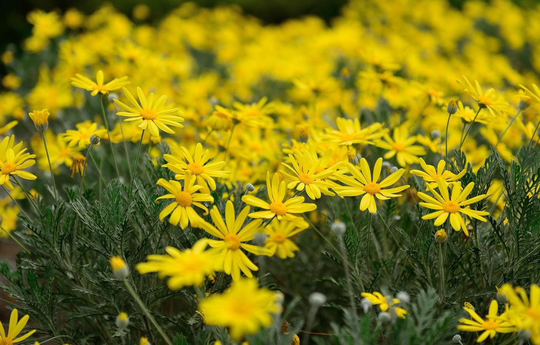Photo wallpaper chamomile, yellow, flowerbed, bokeh, feverfew