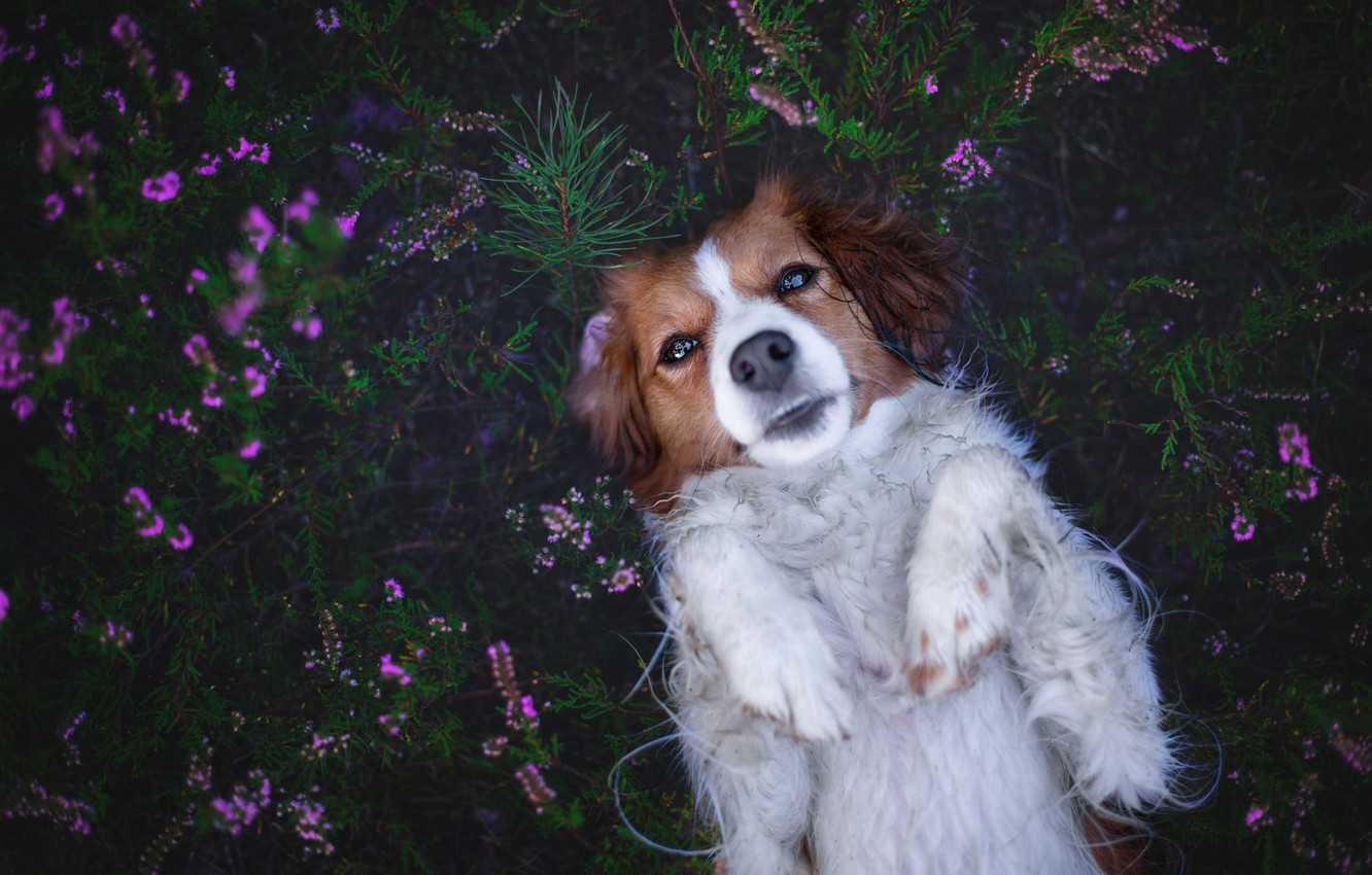 Photo wallpaper look, face, flowers, pose, the dark background, stay, relax, glade, dog, lies, pink, Heather, kooikerhondje