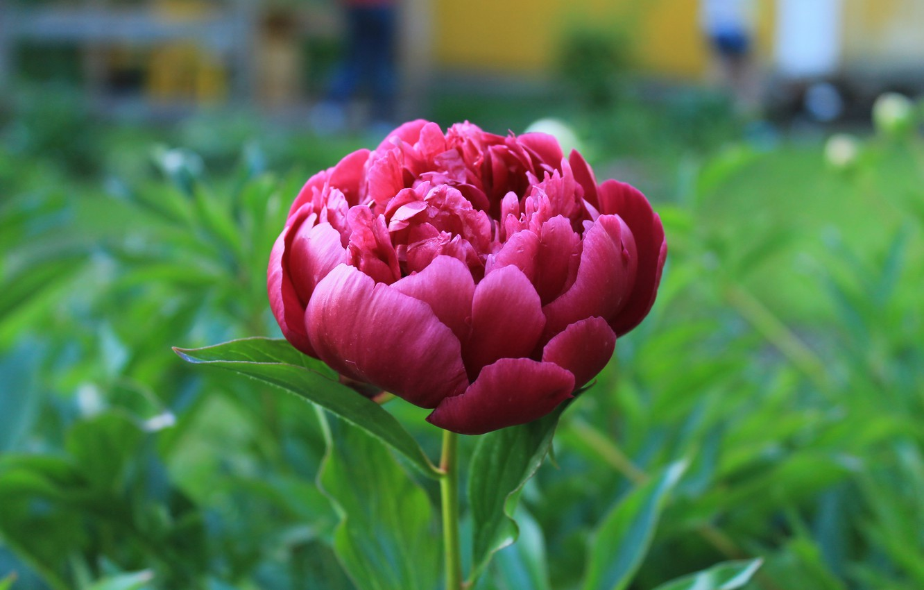 Photo wallpaper summer, Bud, harvest, peony, cottage, solo