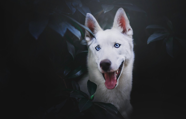 Photo wallpaper language, face, leaves, portrait, The white Swiss shepherd dog