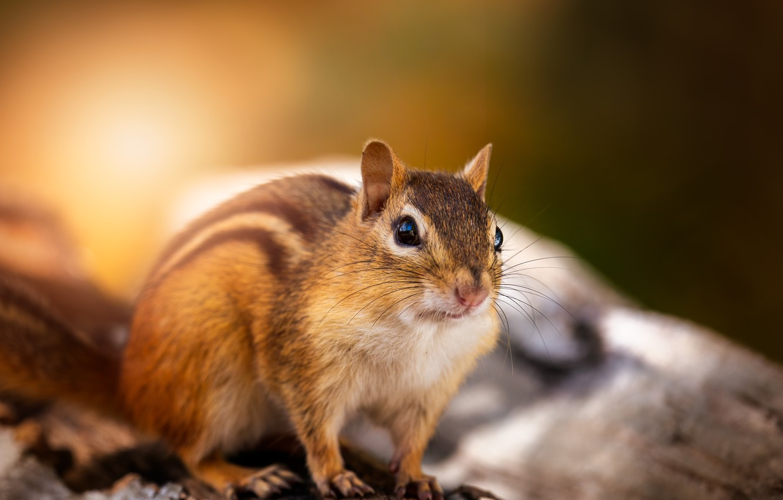 Photo wallpaper look, light, nature, pose, muzzle, Chipmunk, log, rodent