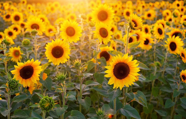 Photo wallpaper field, rays, light, sunflower