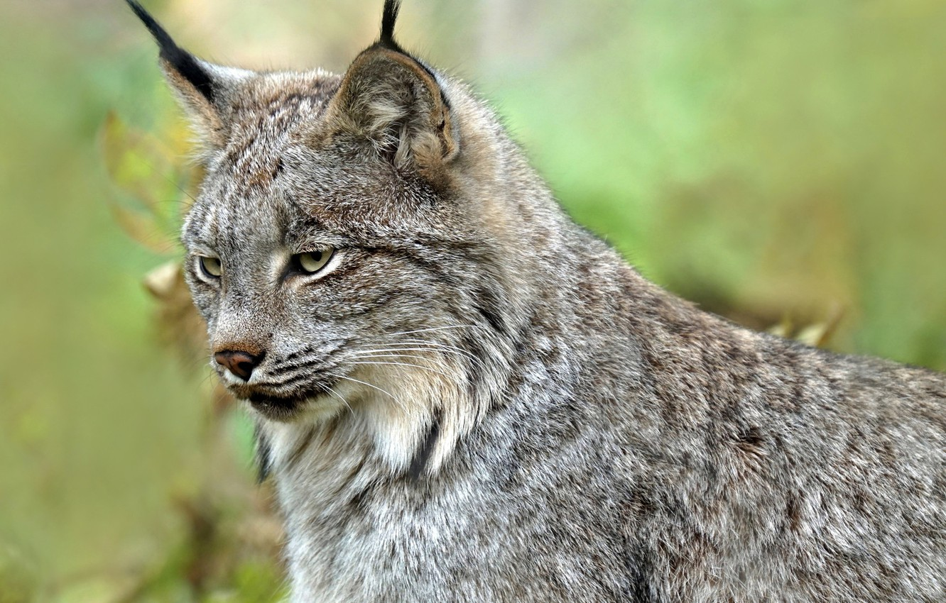 Photo wallpaper face, background, lynx, wild cat