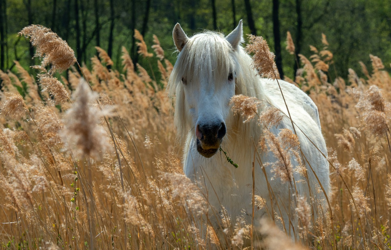 Photo wallpaper field, look, face, nature, horse, horse, white, ears, grazing