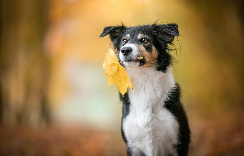 Photo wallpaper autumn, look, face, nature, pose, sheet, Park, background, leaf, black and white, portrait, dog, autumn