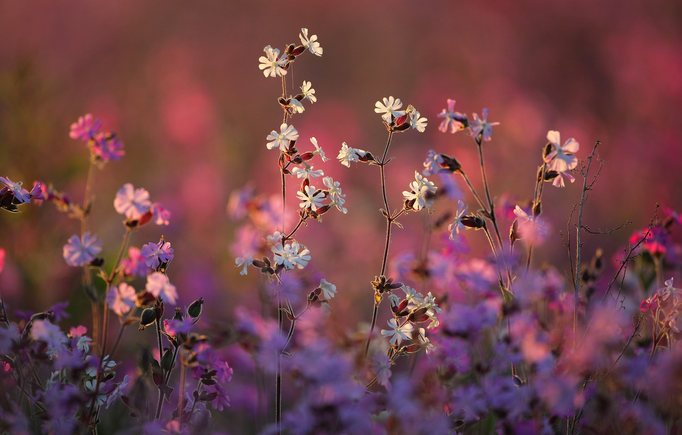 Photo wallpaper nature, bokeh, Campion