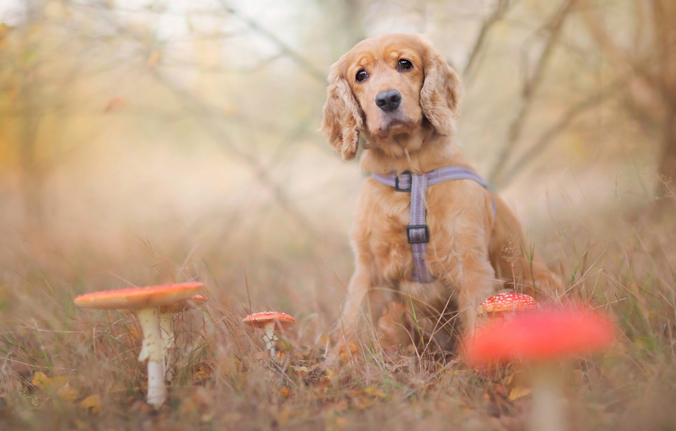 Photo wallpaper sadness, autumn, forest, grass, leaves, branches, nature, glade, mushrooms, dog, blur, Amanita, puppy, sitting, bokeh, …